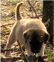 A guide to identifying working traits in Anatolian puppies