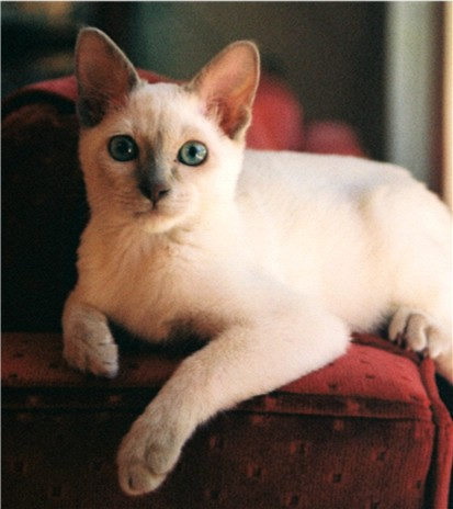 Tonkinese Cats at Eric...