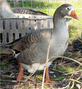 Beauty - Female Pilgrim Goose