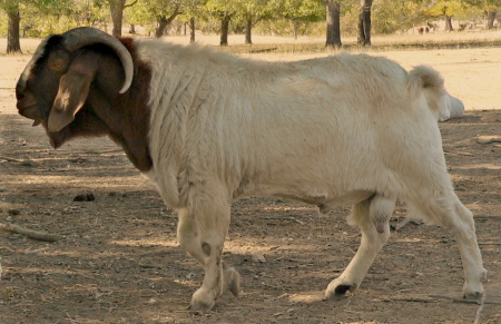 2009 Boer Male Used for 2010 and 2011 Boer Kid Crops
