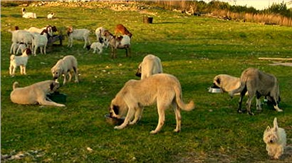 Lucky Hit Anatolians eating in a circle with goats eating in the background