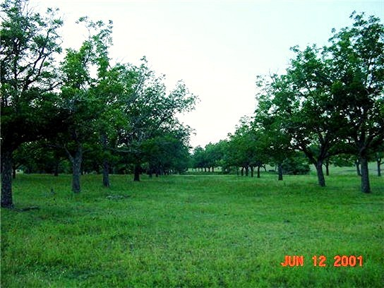 [Pecan Trees at Lucky Hit Ranch, Leander, Texas - June 12, 2001]