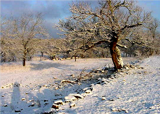 Mulberry tree after a rare snowfall at Lucky Hit
