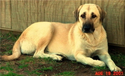 Link to Anatolian Shepherds Page
