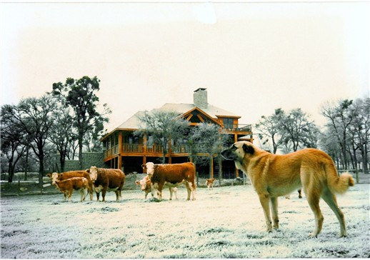 Case and Simmental Cattle at Conard Farms in Elgin, Texas
