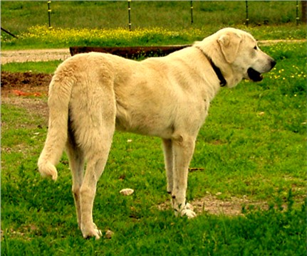 Lucky Hit Ranch's Anatolian Shepherd Page - Designating ...