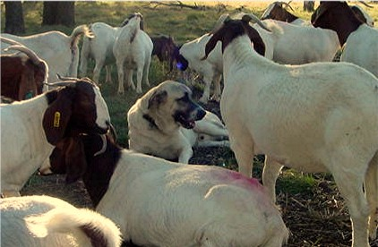 Lucky Hit Shadow Major guarding registered boer goats