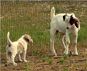 Lucky Hit Shadow Samson as a youngster with goats