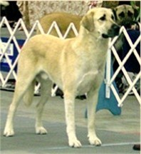 Links to AKC Anatolian Shepherd Breed Standard