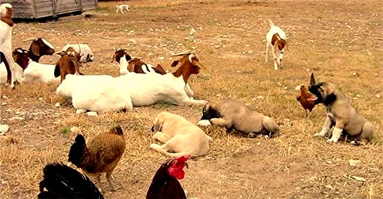 Lucky Hit pups being raised with livestock