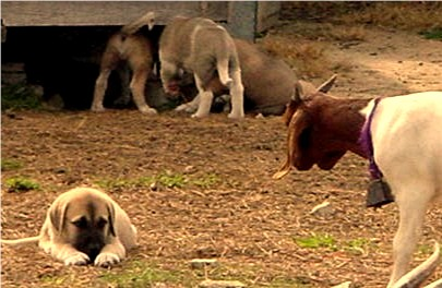 Lucky Hit pups being raised with goats at Lucky Hit Ranch